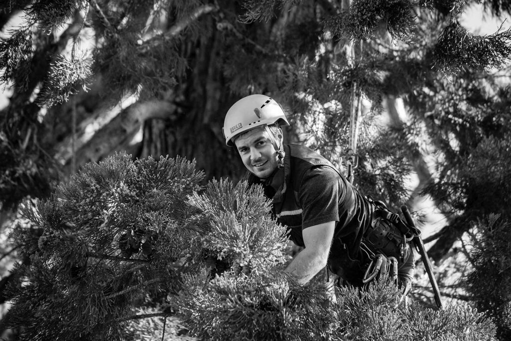 Mammutbaum Baumpflege Fotoreportage
