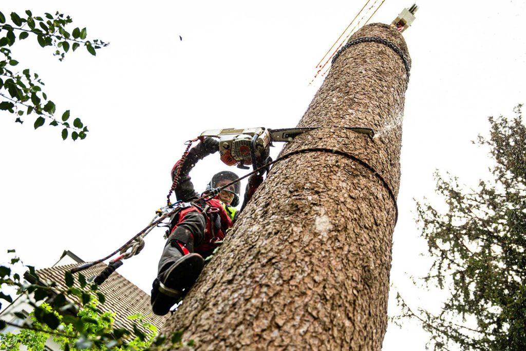 Am Baumstamm wird gesägt
