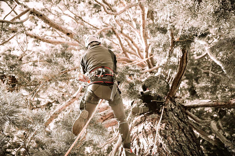Mammutbaum-Pflege